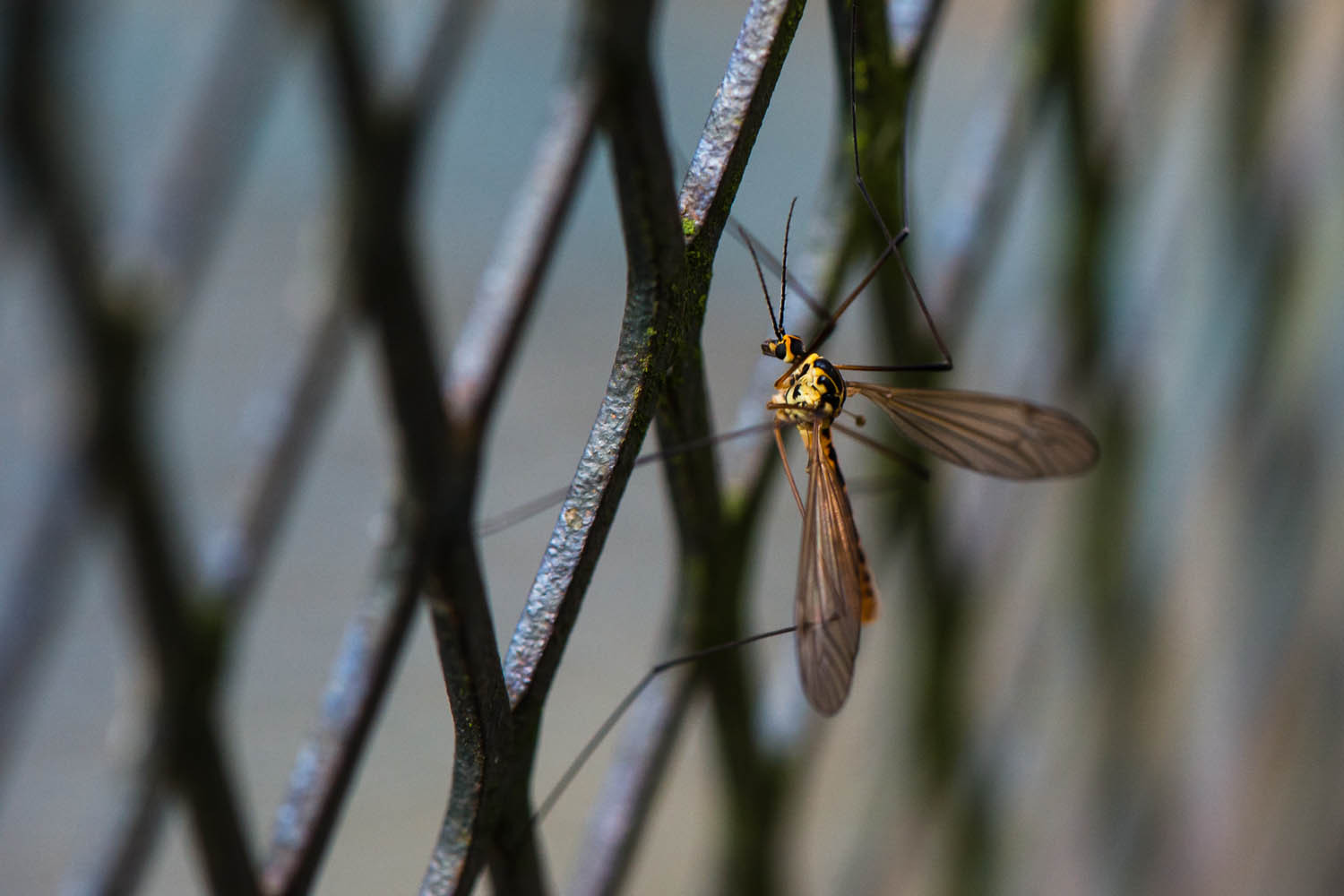 Behind Bars. a Tiger Crane Fly (Nephrotoma flavescens)