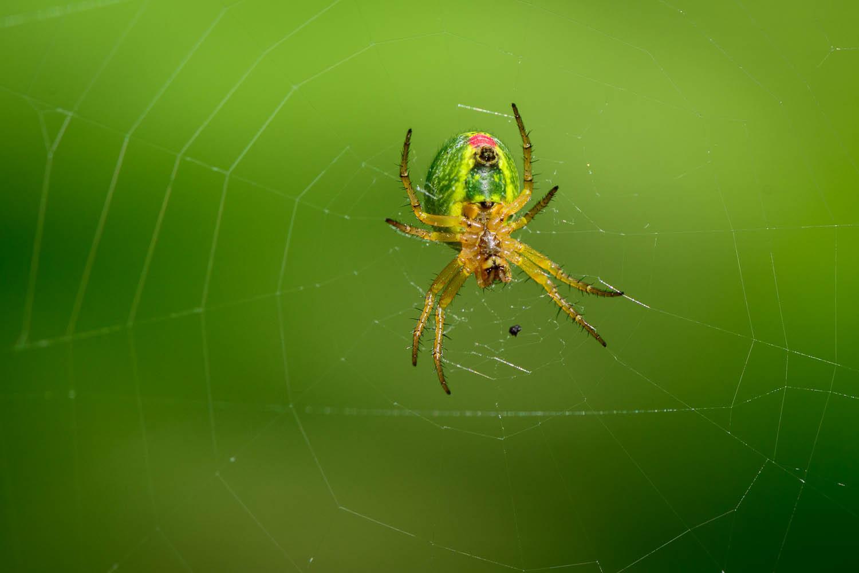 Orb Web Spider Underside