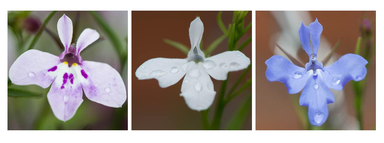 Raindrops keep falling on my petals