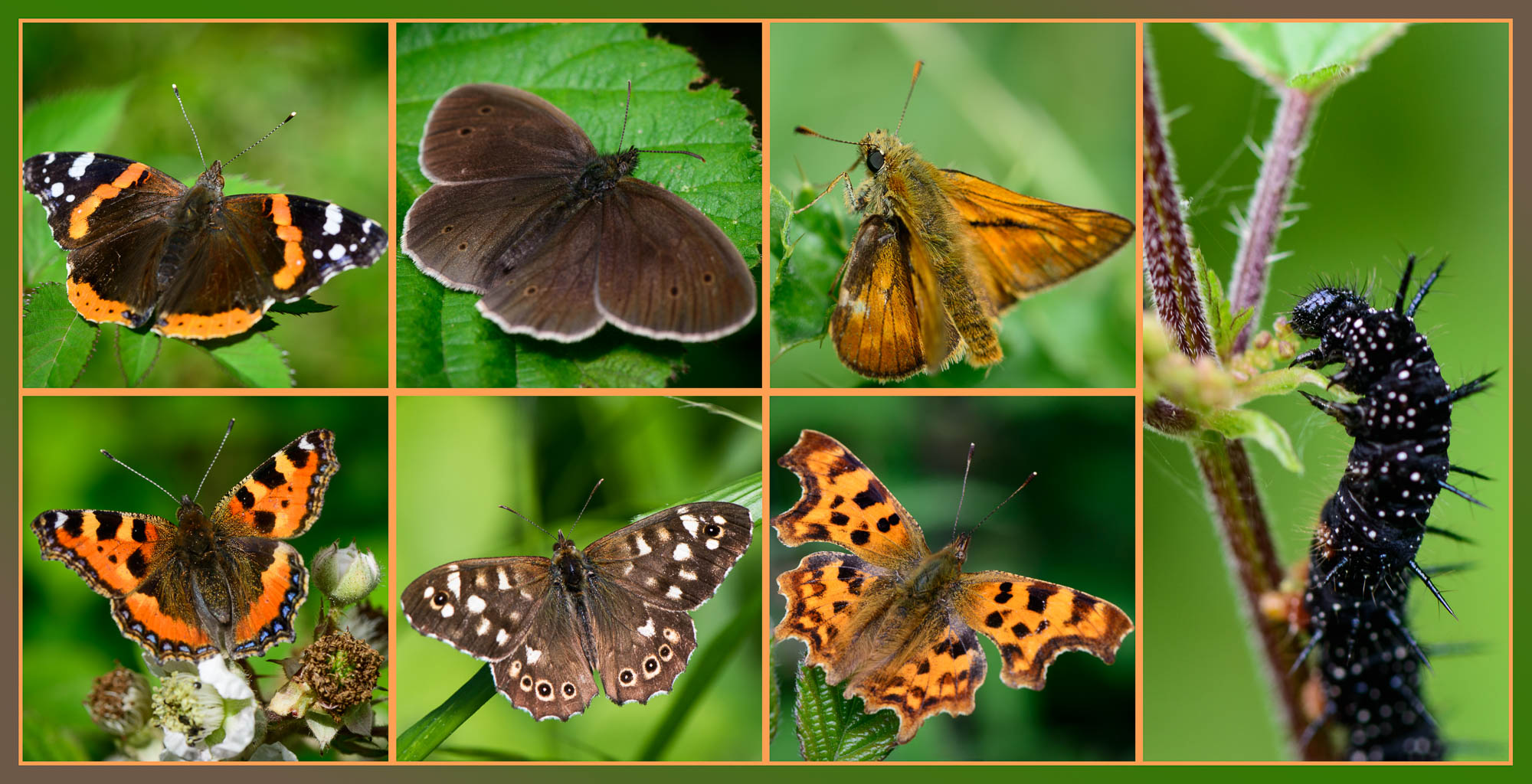 The Butterflies of Rowney Wood