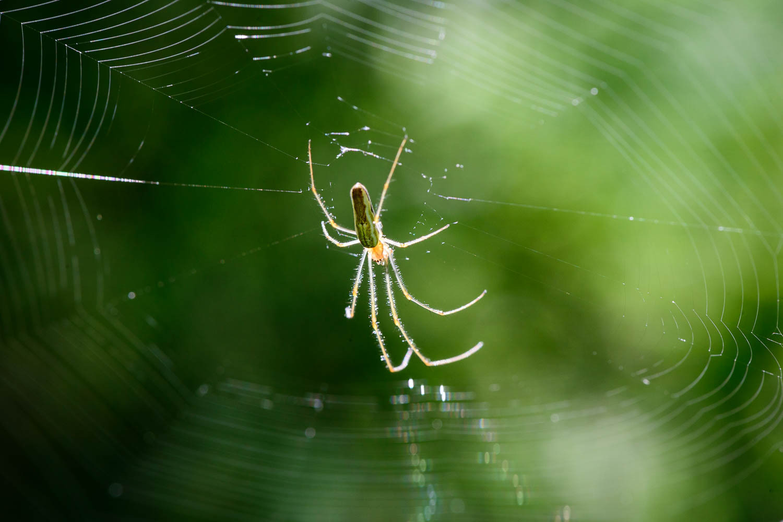 Long-jawed Orb-weaver Spider - Tetragnatha extensa