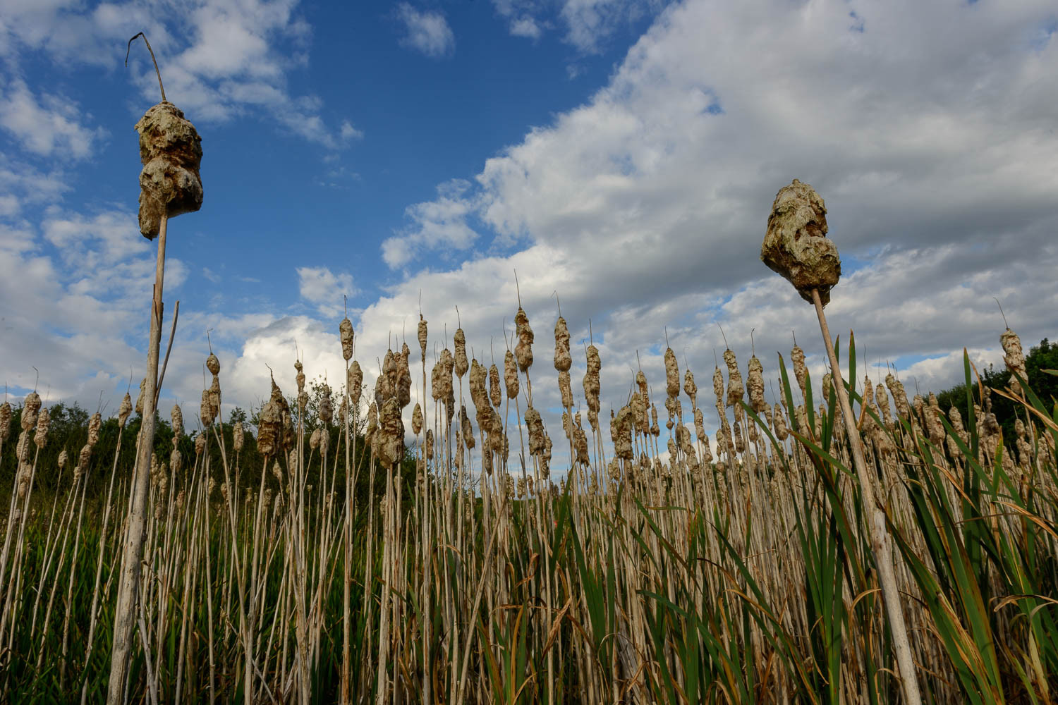 Spiked - Bulrush gone to seed