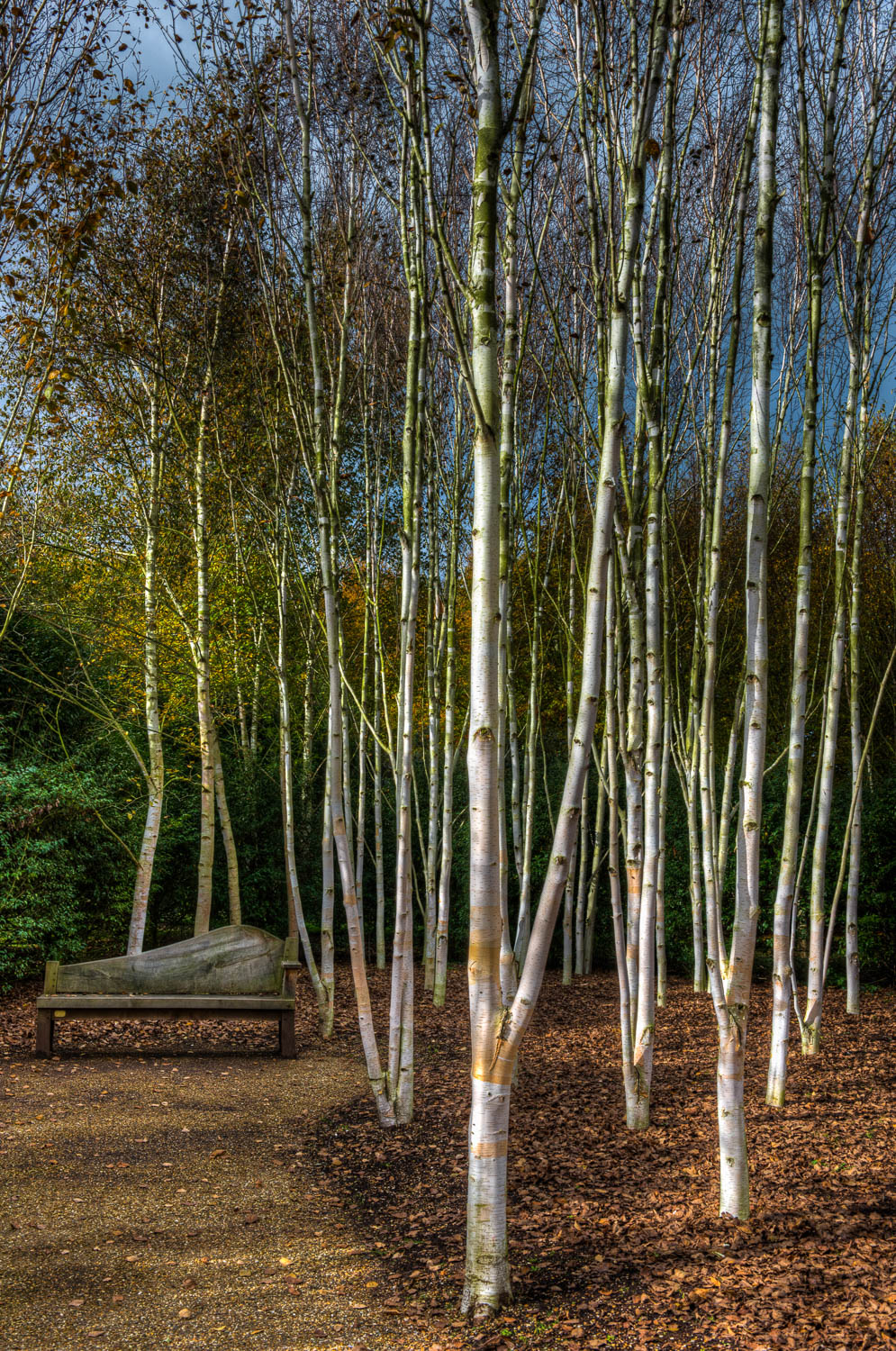 Autumnal Silver Birch at Angelsey Abbey