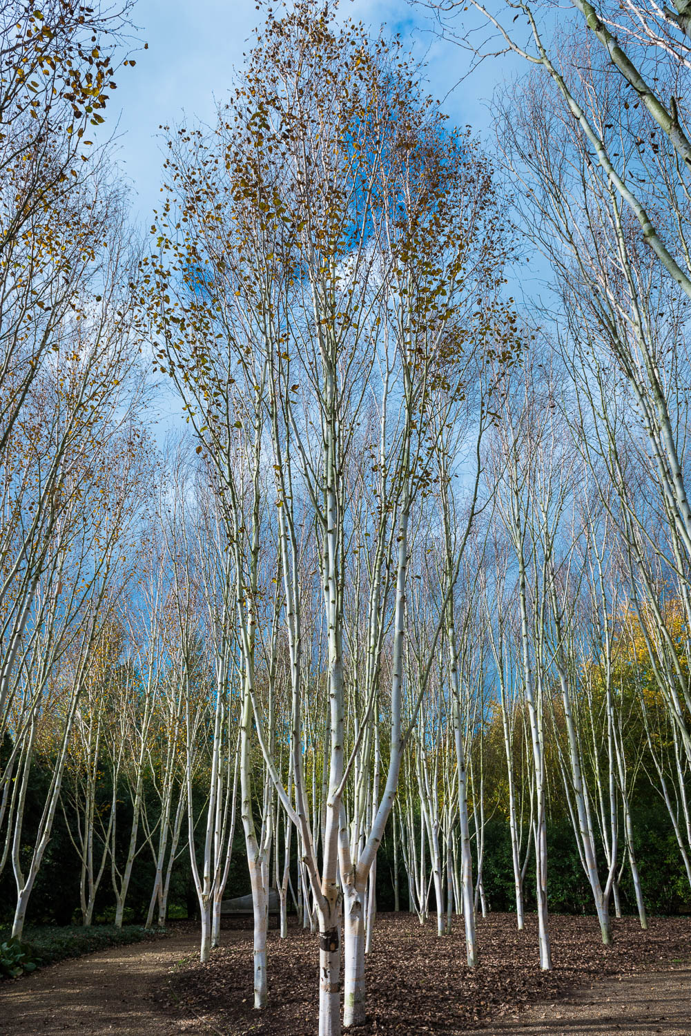 Silver Birch Stand at Angelsey Abbey