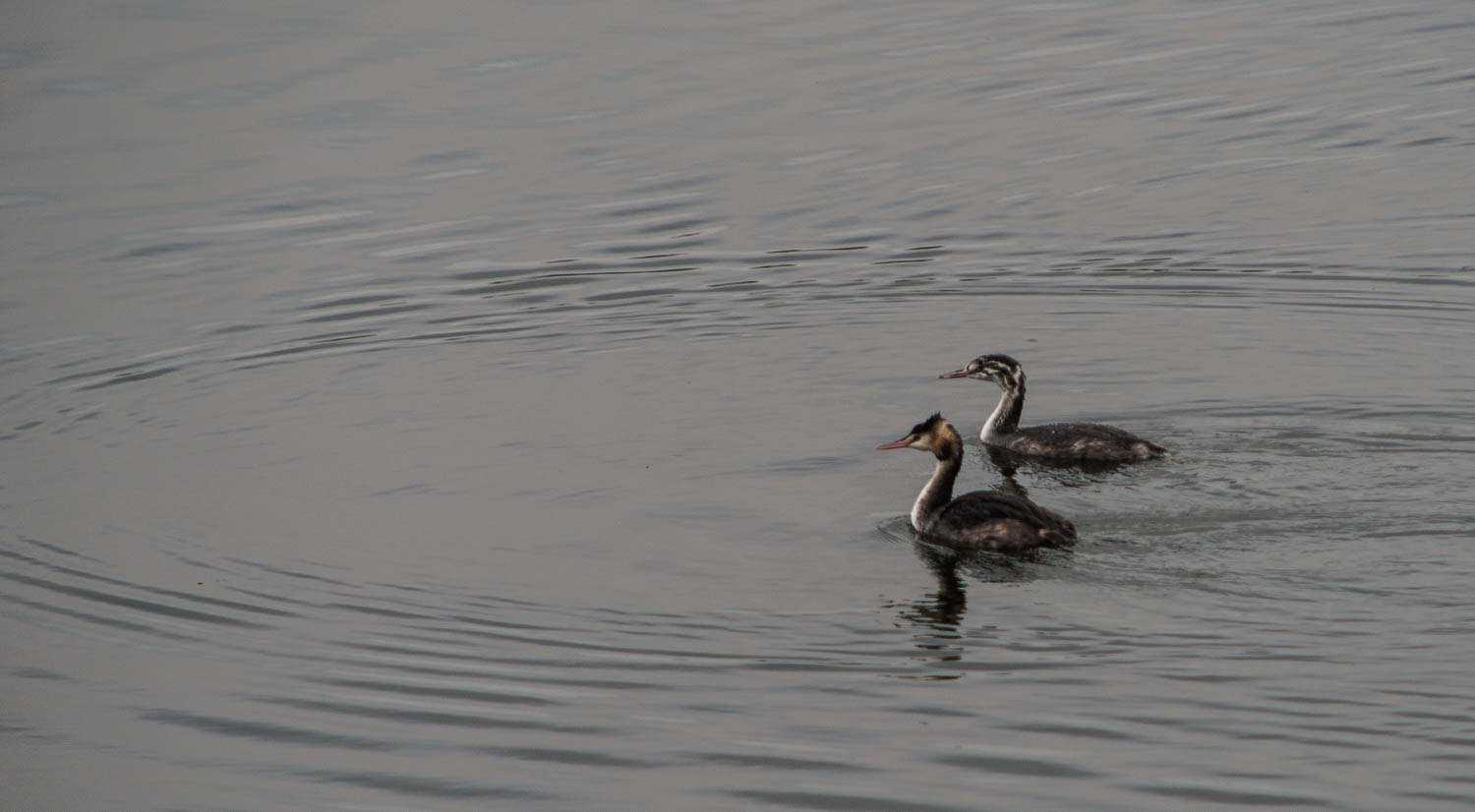 A Pair of Great crested grebes (Podiceps cristatus)