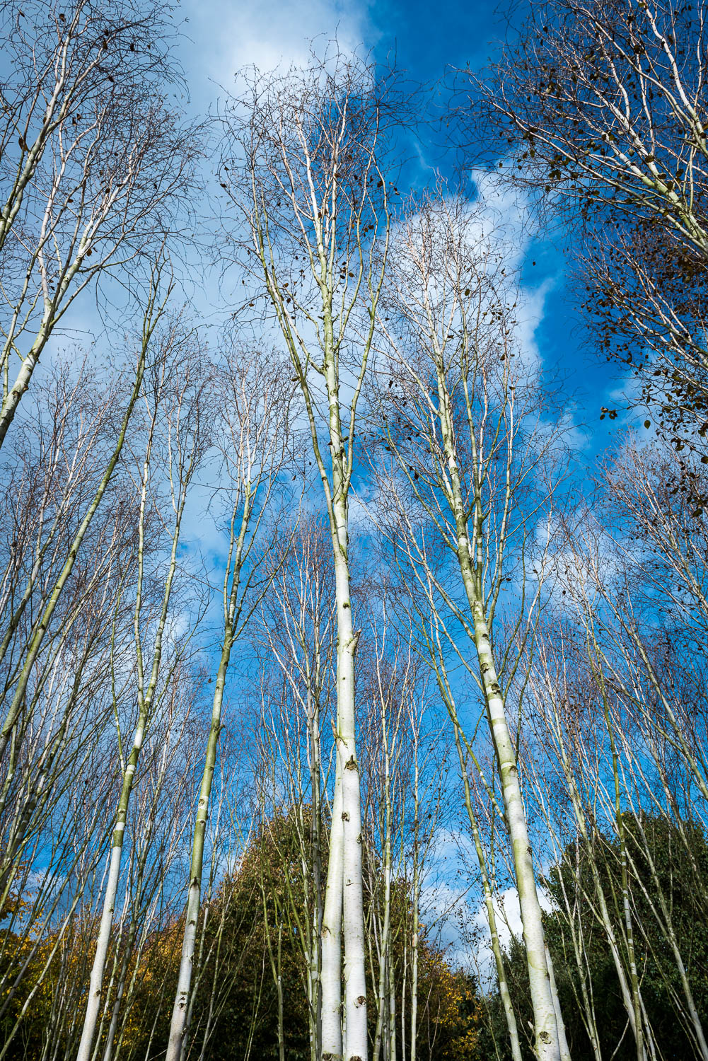 Looking up at the Silver Birch at Angelsey Abbey
