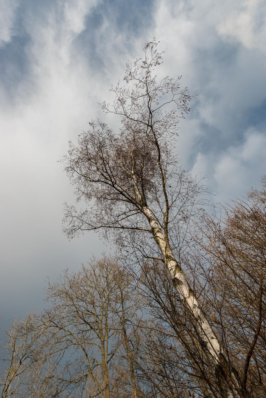 Autumnal Silver Birch