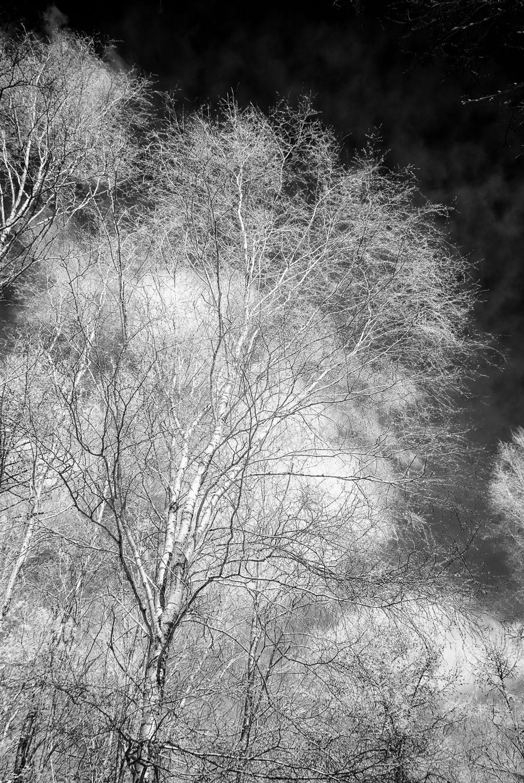 Silver Birch 1