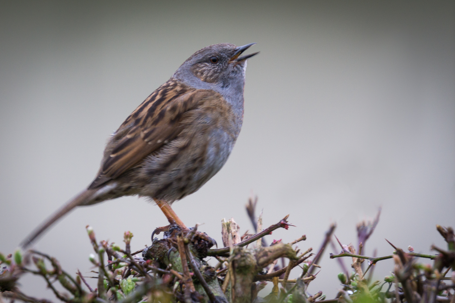 Singing Dunnock
