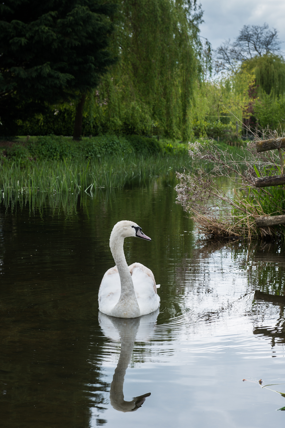 The Immature Swan