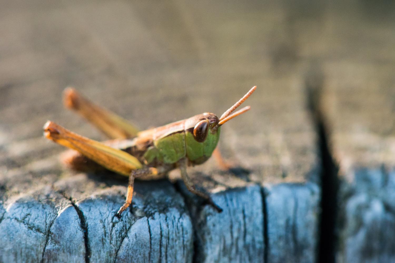 A Meadow Grasshopper