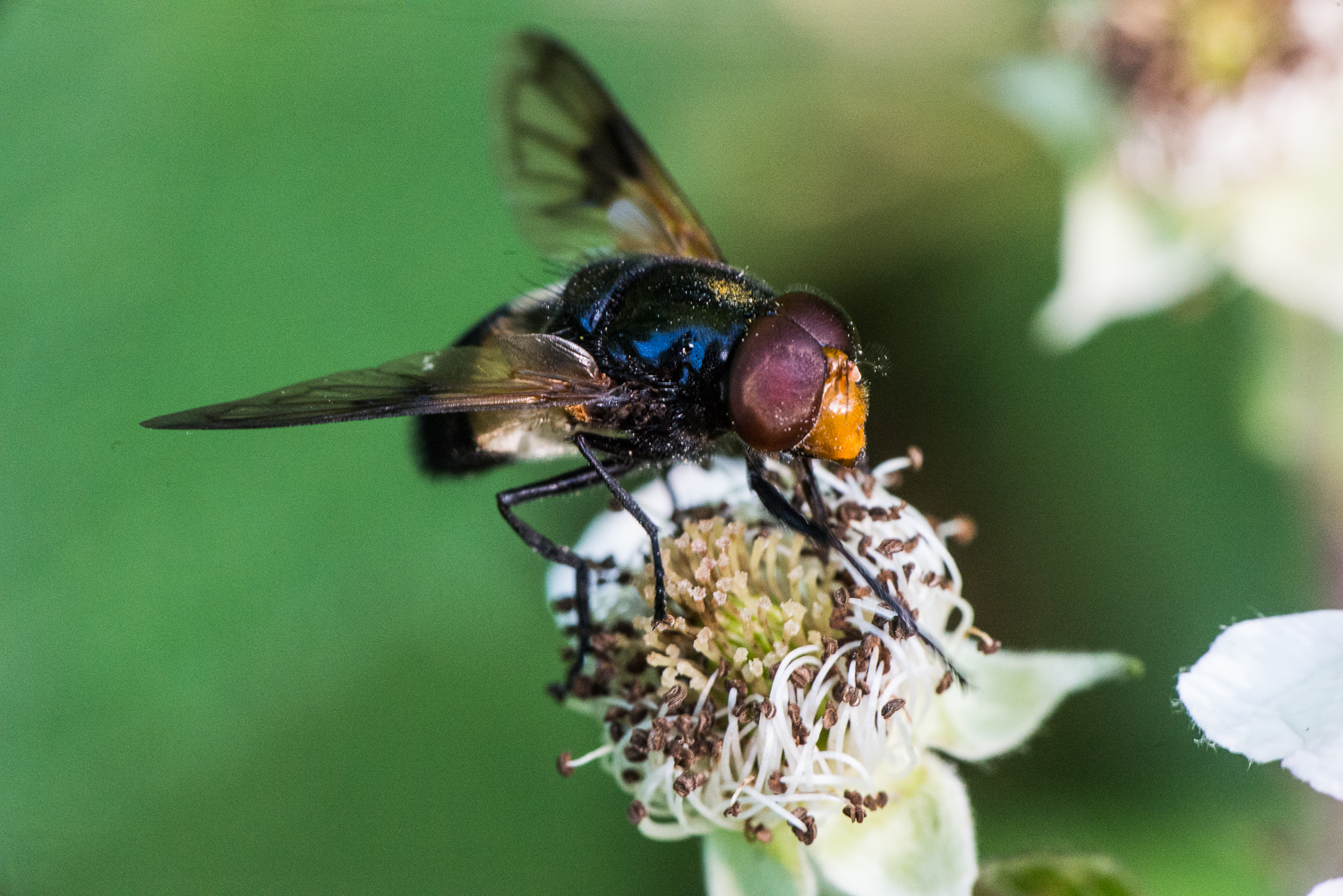 A rather unpleasant looking fly of some kind