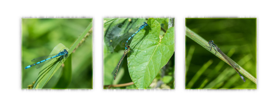 Damselflies at Phyllis Currie Nature Reserve