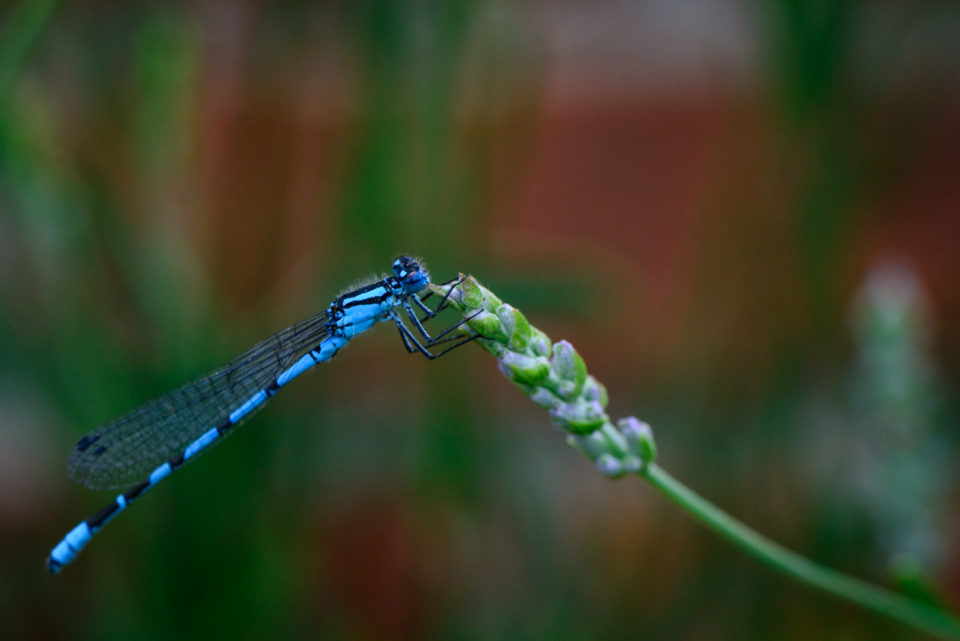 A Common Blue Damselfly in the garden