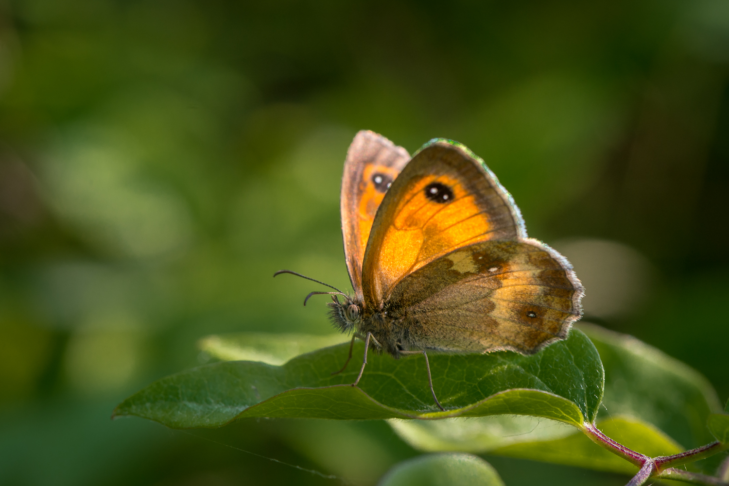 Gatekeeper Butterfly , Pyronia tithonus in Rowney Woods