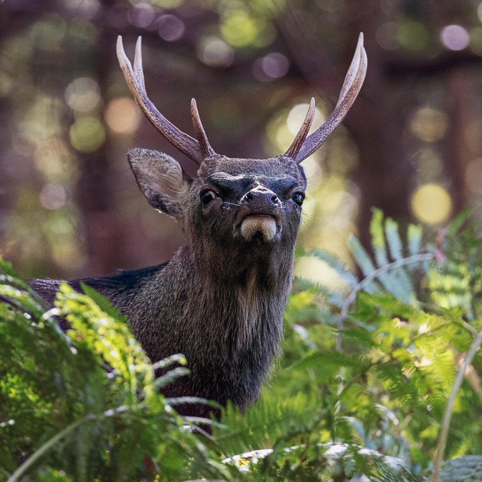 Sika Deer in Bracken at Knole