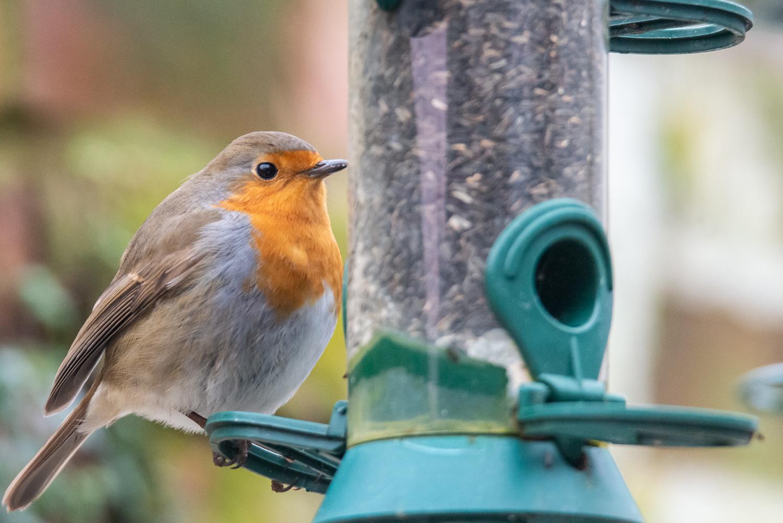 Robin on a Feeder