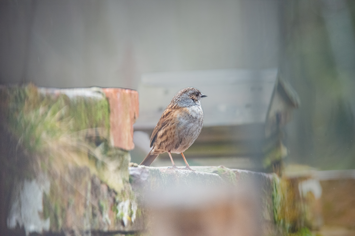 Dunnock Guards the Castle_