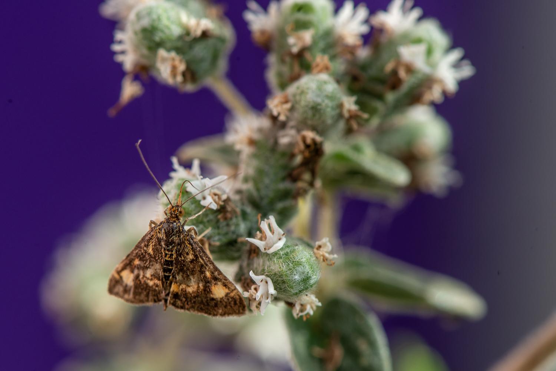 Moth in Purple
