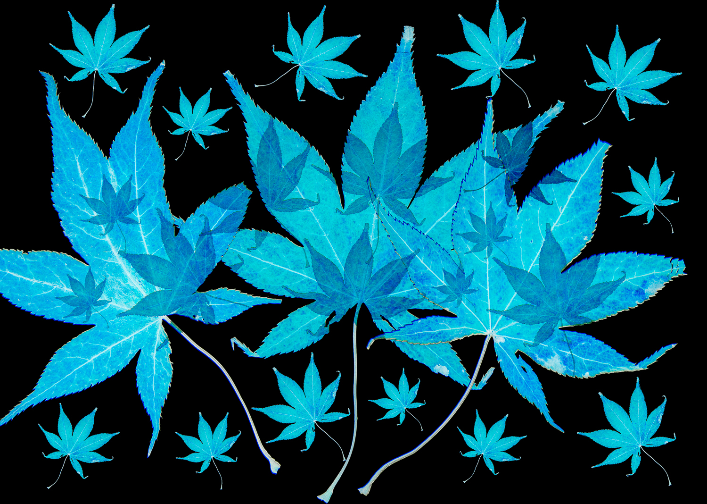 Blue Maple