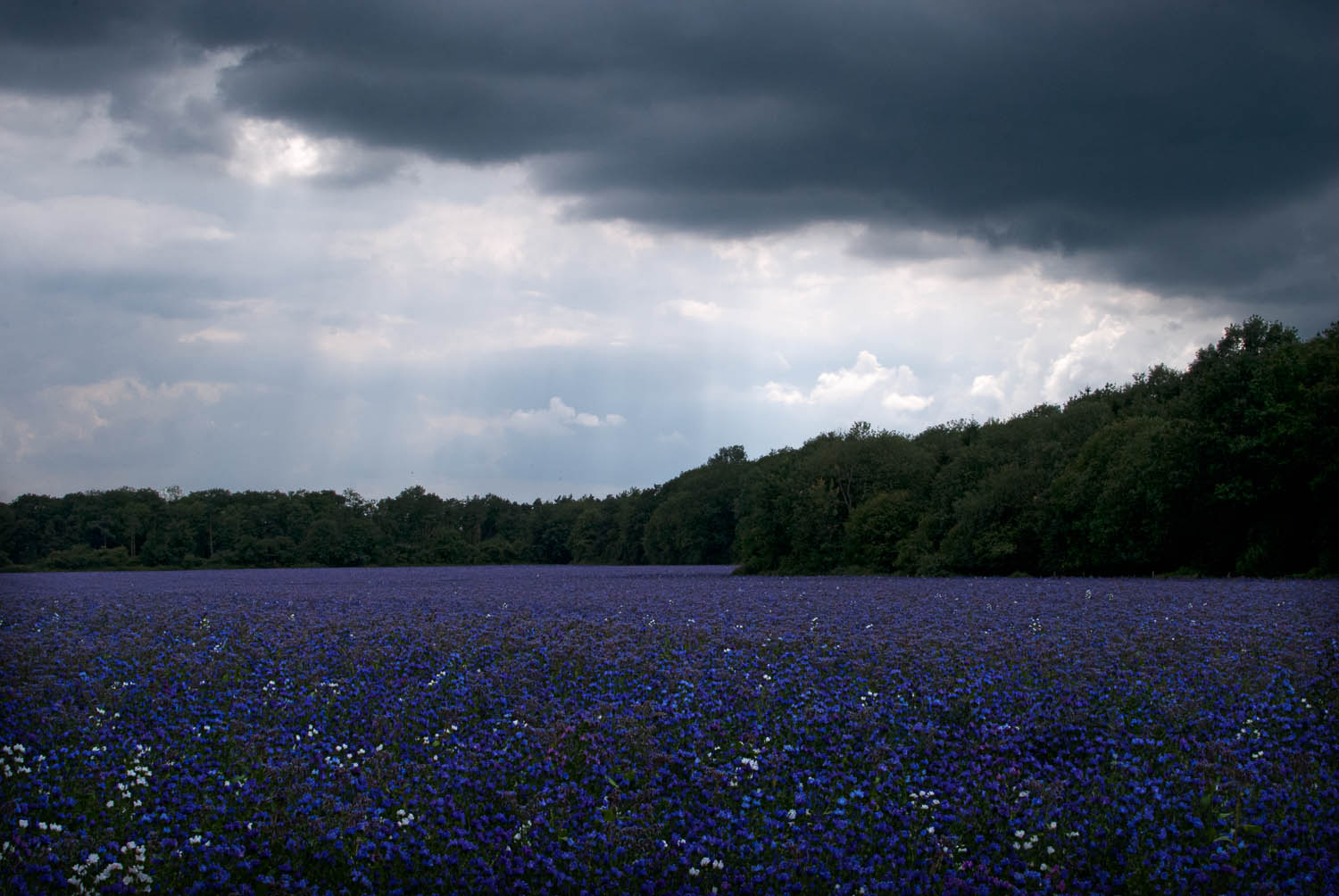 A Sea of Purple at Rowney Woods