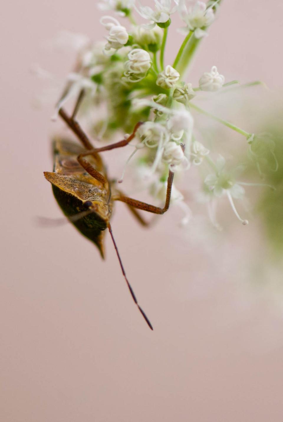 Forest Shieldbug (Pentatoma rufipes)
