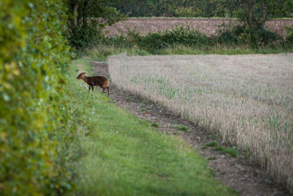 Muntjac Deer in Rowney Woods