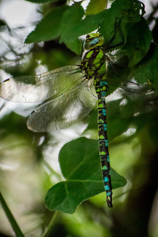 Southern Hawker Dragonfly (Aeshna cyanea)