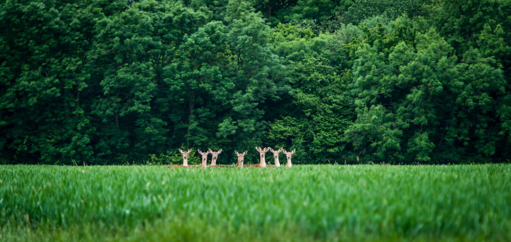 A group of Fallow Deer eye the photographer wondering what he will do next.