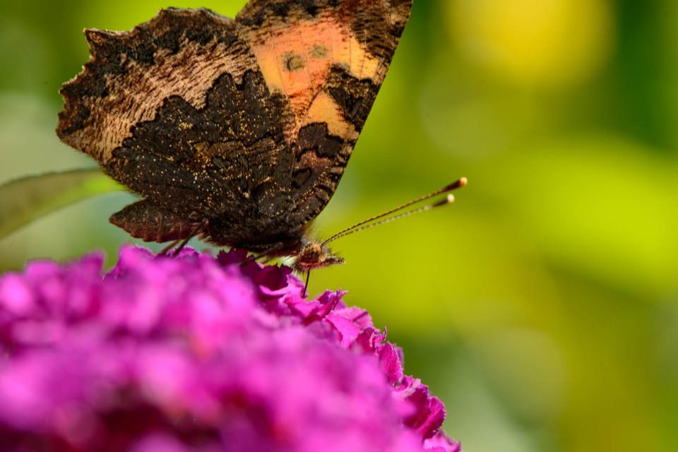 A small tortoiseshell butterfly (Aglais urticae) - Feeding Time
