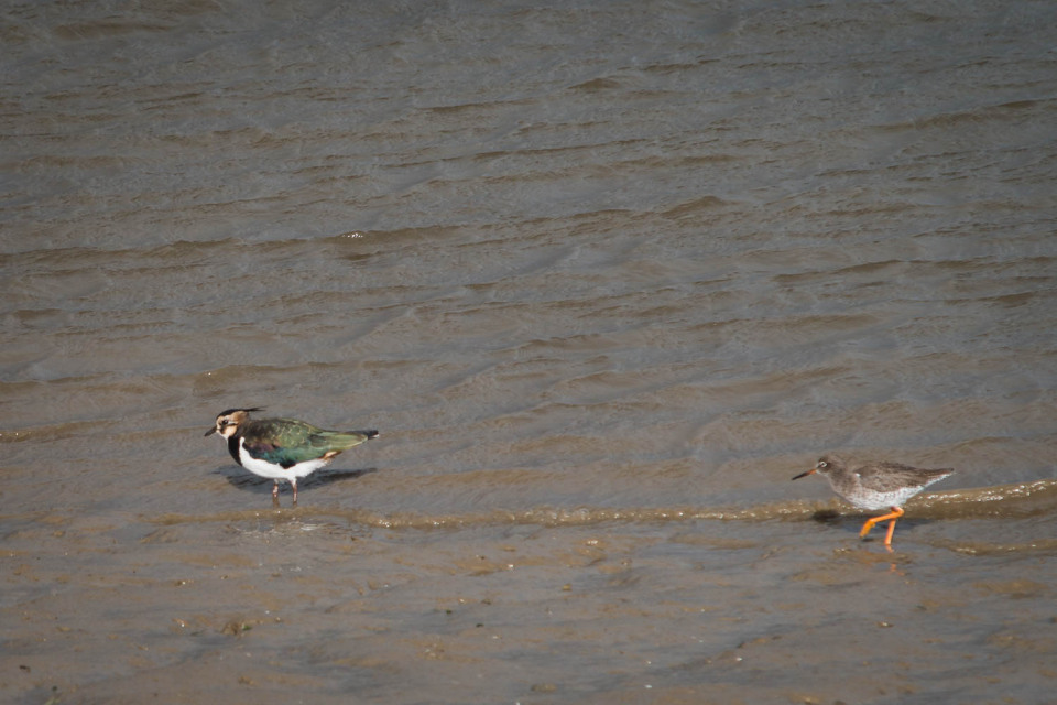 A Lapwing and a Sandpiper