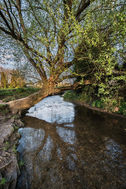 Tree over the River Chelmer