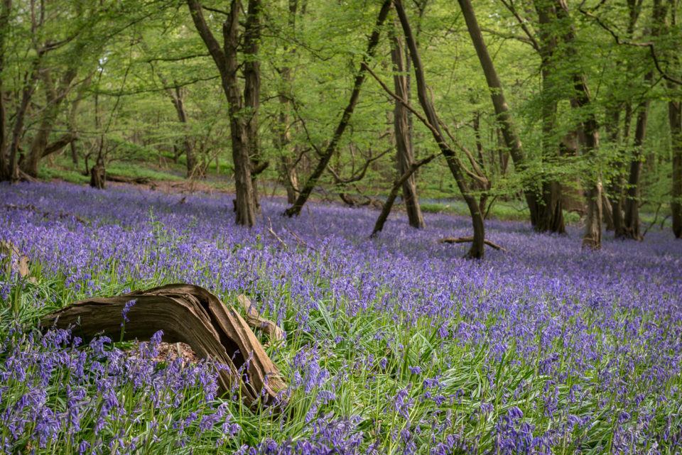Bluebirds in Mill Wood