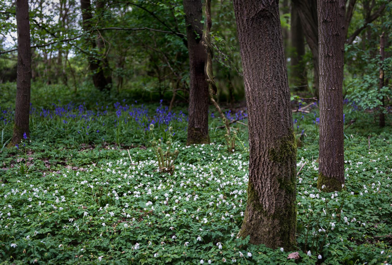 Wood Anemone v Bluebells