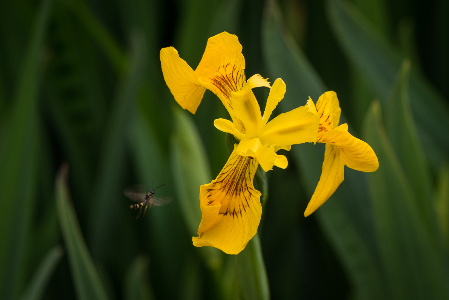 Yellow Iris and Hoverfly