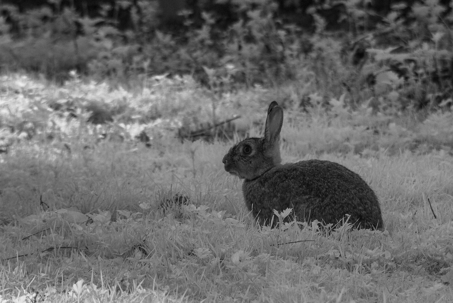 Infra-Red Bunny