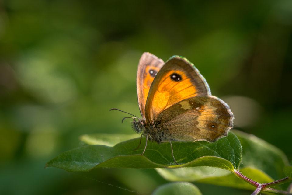 Gatekeeper Butterfly , Pyronia tithonus in Rowney Woods