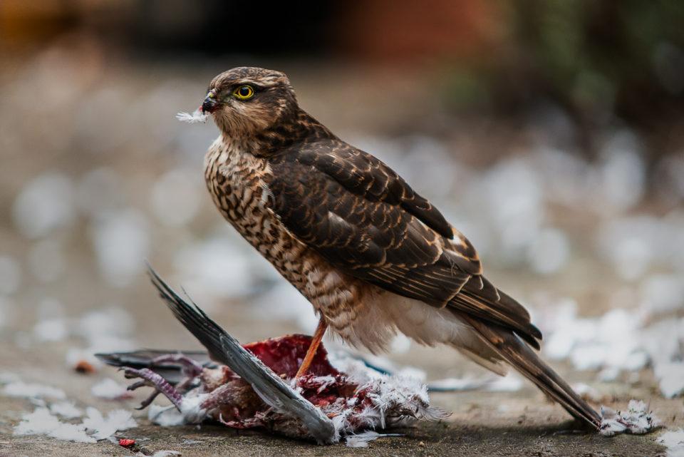 A female sparrowhawk with kill