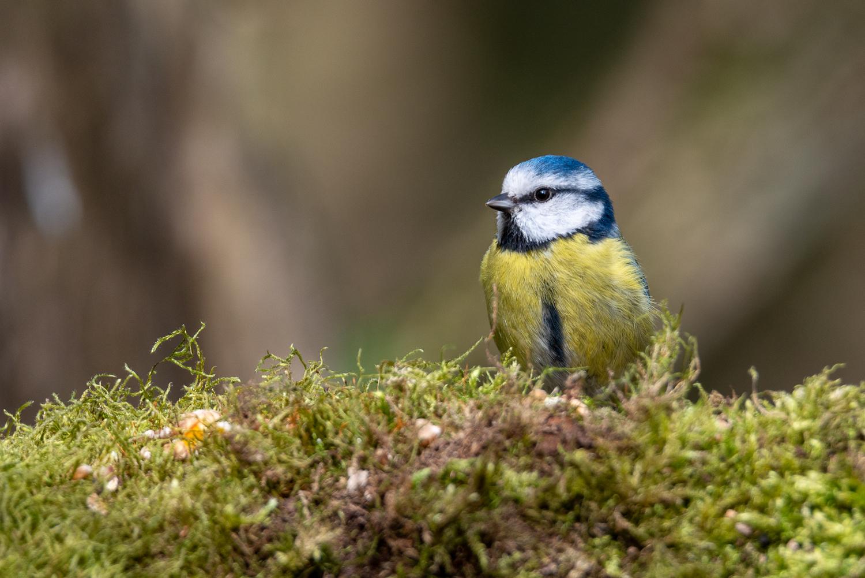 Blue Tit on a log at Lackford Lakes