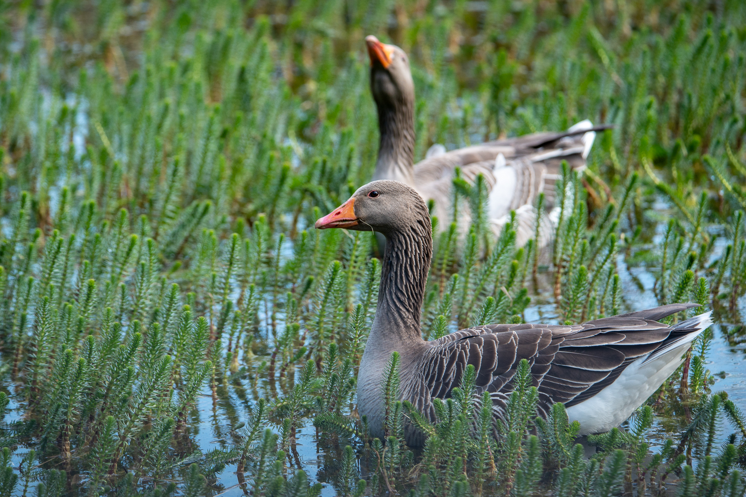 Greylag geese in the reeds