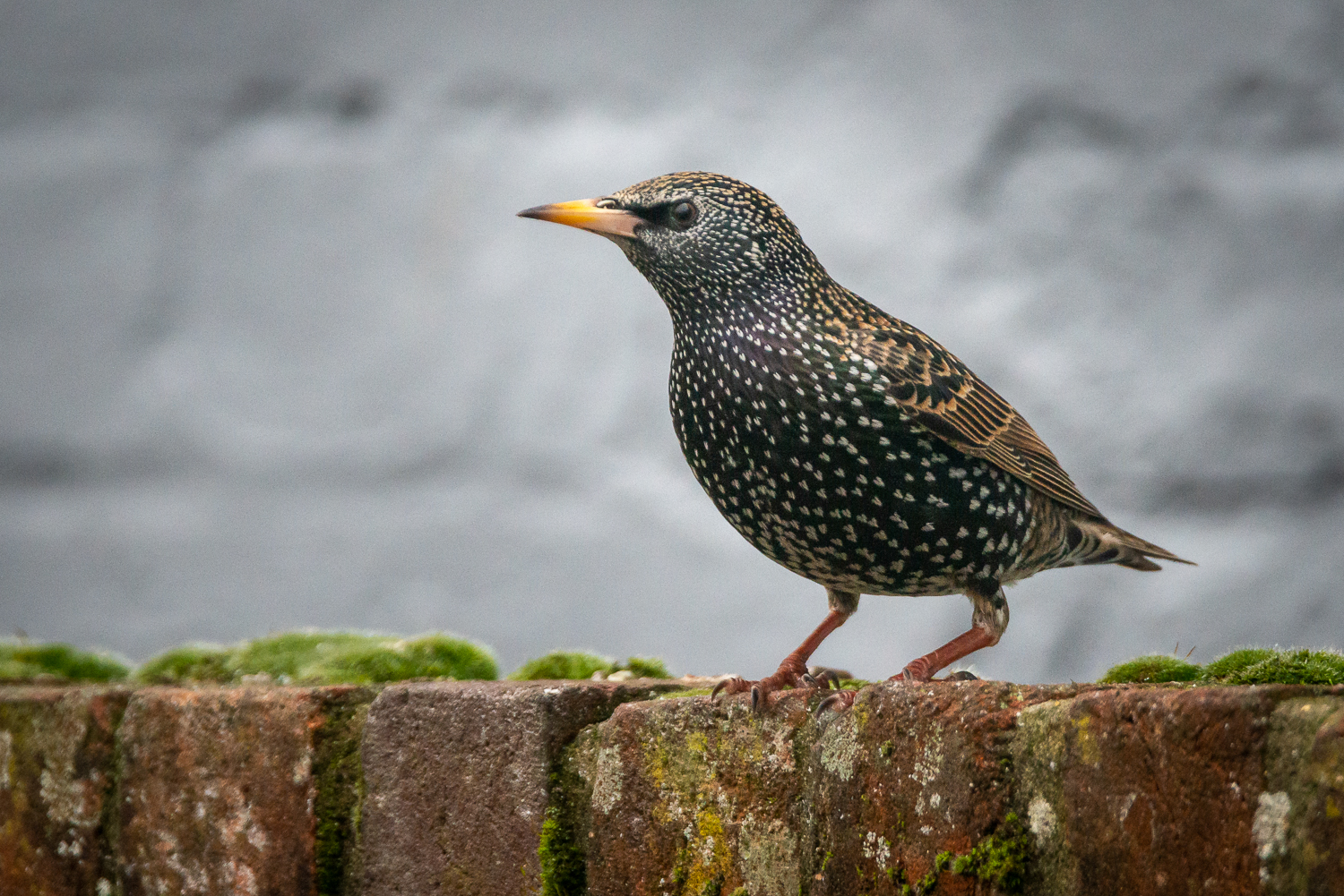 Staring at the Starlings waiting for the Snow