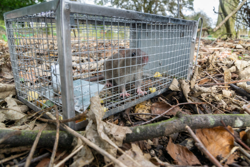 A rather forlorn captured rat awaiting to be released