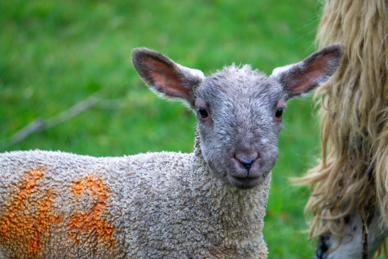 Lamb a la Orange