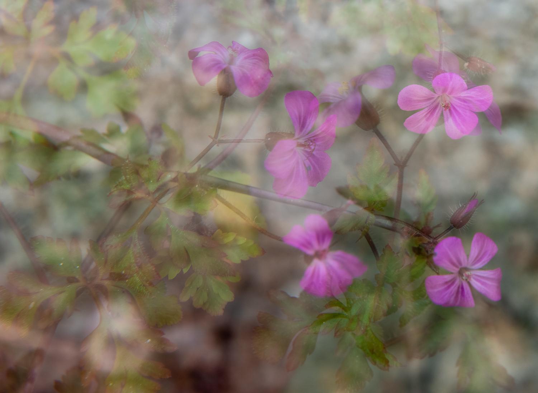 Multiple Exposure Flowers