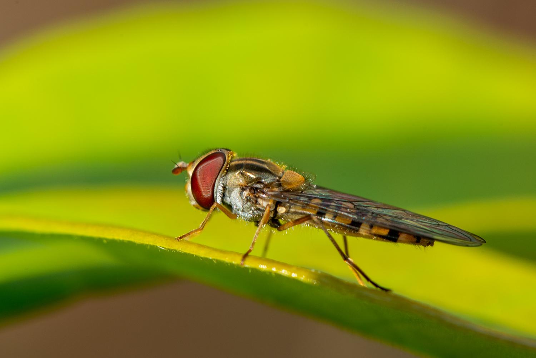 Hoverfly, Epistrophe grossulariae