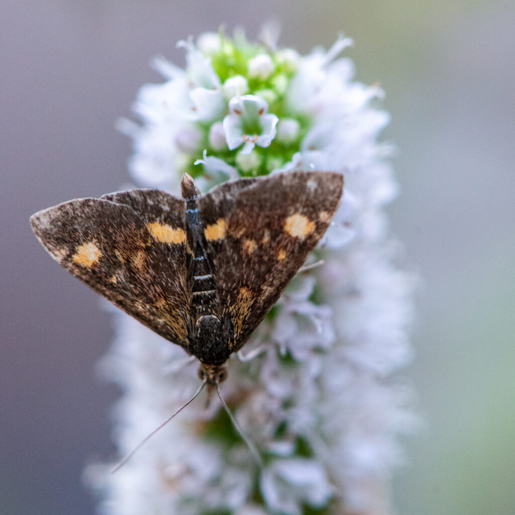 Small Purple and Gold (Mint) Moth