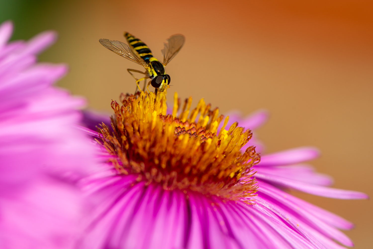 The Hoverfly and the New England Aster
