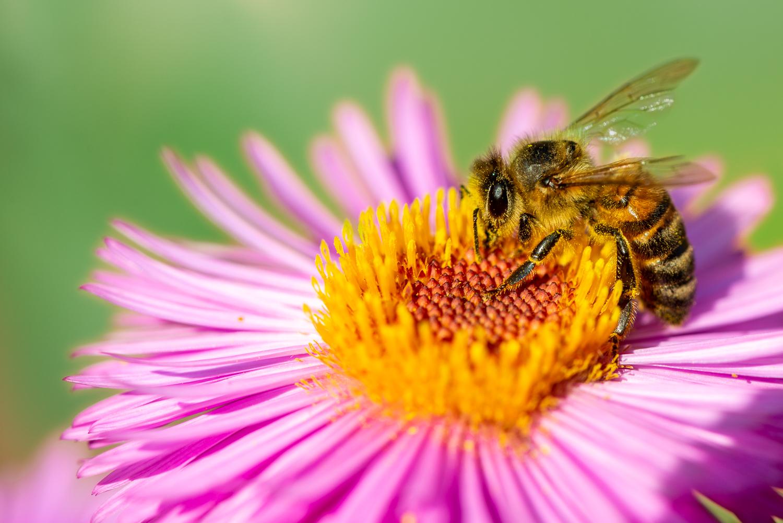 Honey Bee on New England Aster